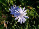 Naziv slike:plavi cvit neki jesenji